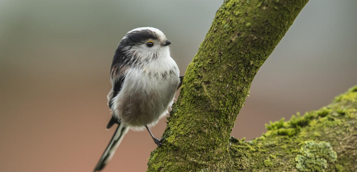 Long-tailed tit / Staartmees (Aegithalos caudatus)