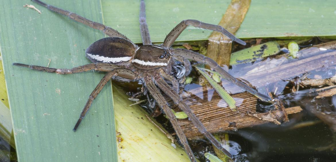 grote oeverspin of vlotspin (Dolomedes plantarius)